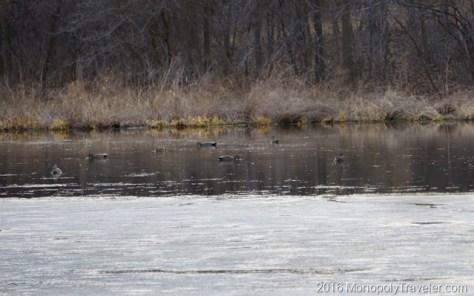 Ducks taking a break from their long flight