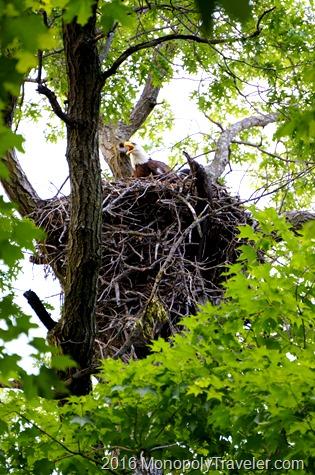 Unhappy adult Bald Eagle