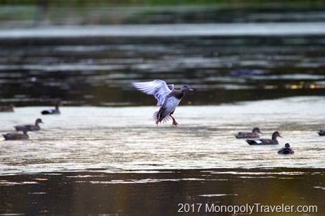 Widgeon coming in for a landing