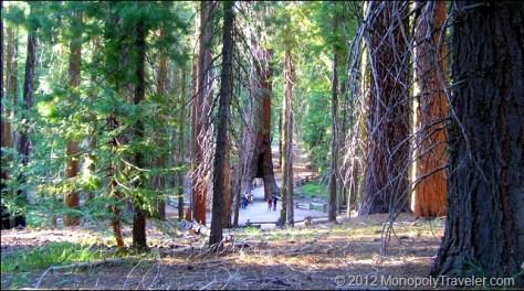 The California Tunnel Tree