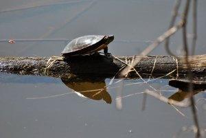Les tortues sont faciles à observer dans les nombreux milieux humides.