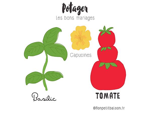 plantes compagnes au potager : basilic, tomate et capucines pour éloigner les pucerons