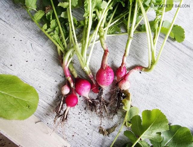 récolter une botte de radis dans un potager sur balcon