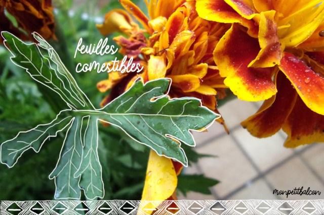 Oeillets d'Inde (Tagetes patula) feuilles odorantes et comestible sur mon petit balcon au printemps