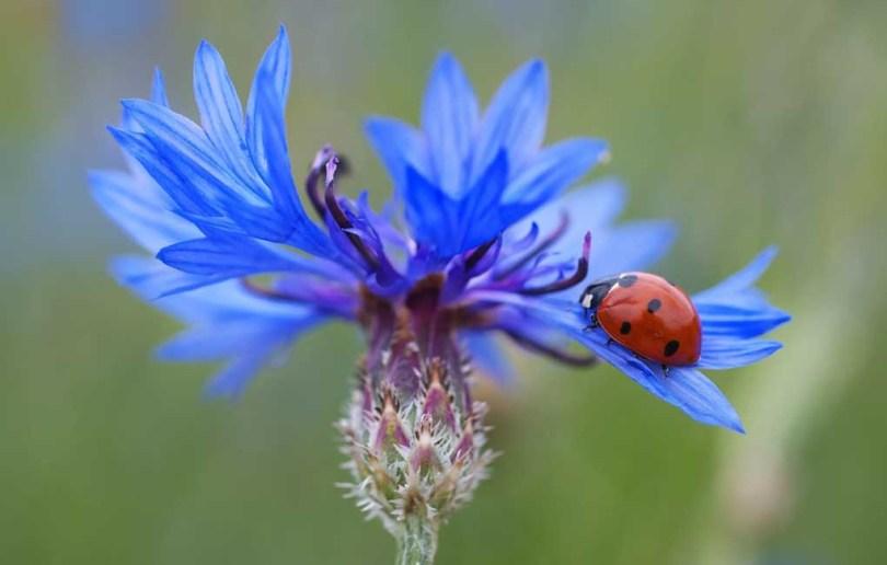 Semis d'automne au potager sur balcon : la fleur comestible et mellifère de bleuet des champs bio