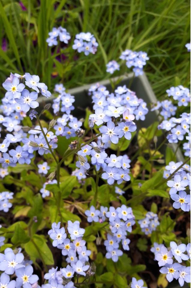 Fleurs sauvages et comestibles de myosotis dans un jardin potager à Nanterre | Mon petit balcon