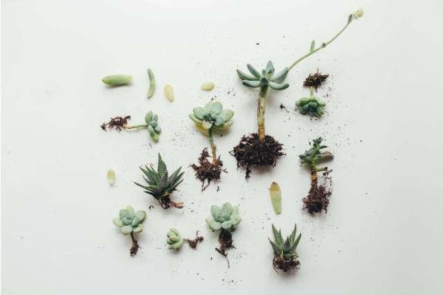 boutures de plantes succulents à rempoter dans du terreau spécial plantes cactées