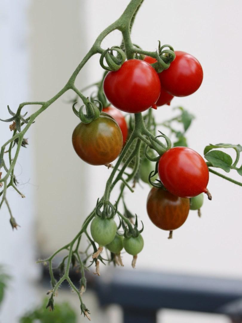 faire pousser facilement des tomates dans un bac potager en bois sur le balcon