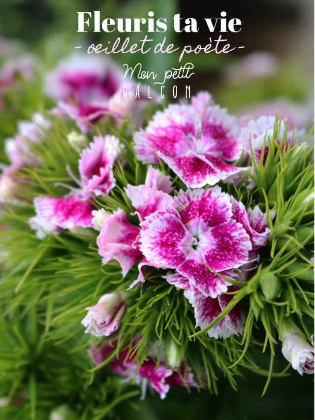 fleuris ta vie - oeillet de poète : conseille de Sophie, fleuriste éco-responsable. Oeillet de poete rose vive et rose claire en bouquet