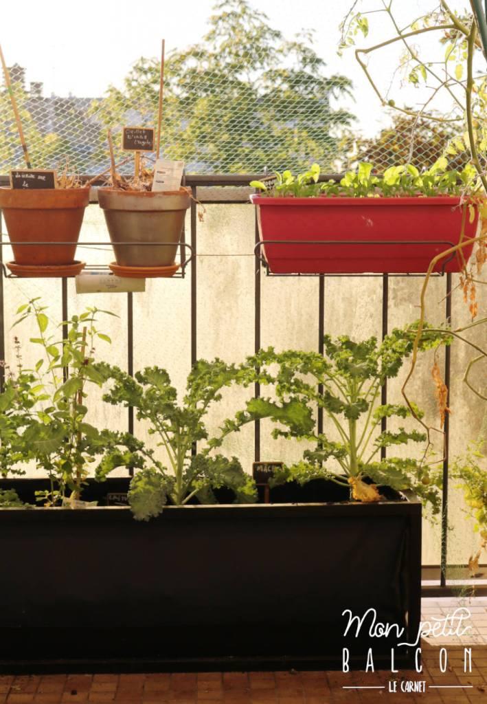 FAIRE POUSSER du chou kale sur un balcon