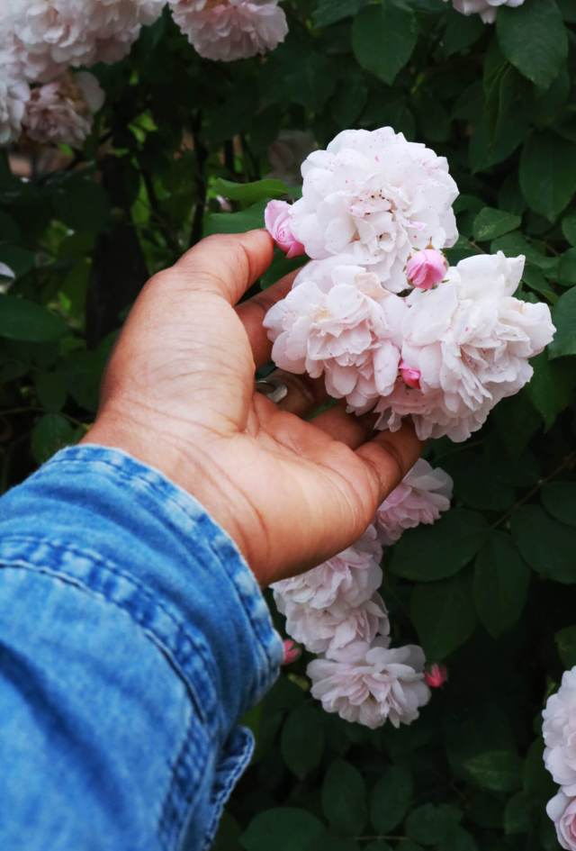 main tenant une rose tachetée