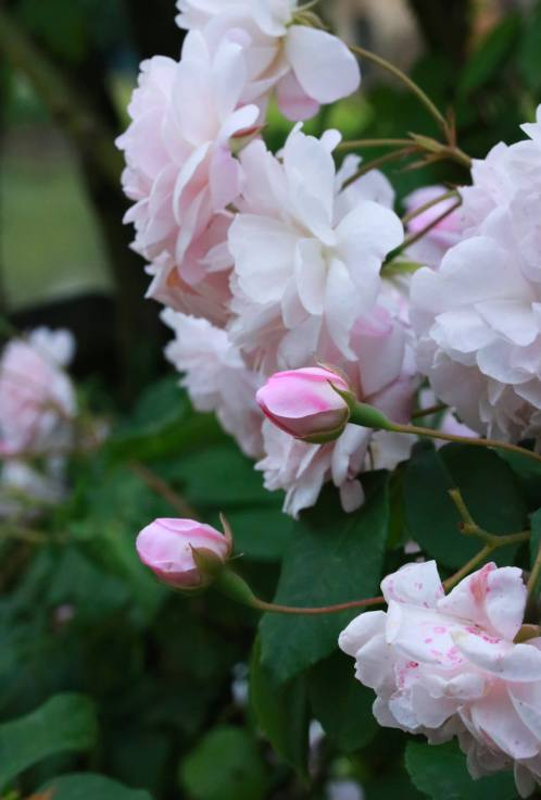 rosier chateau de versailles