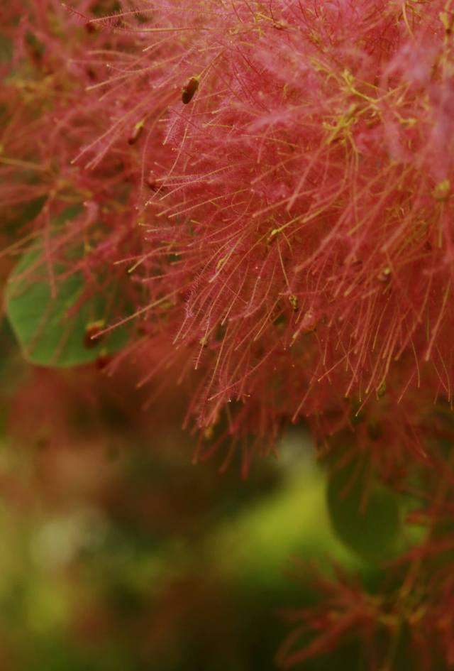 l'arbre à perruques roses