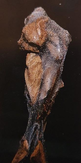 Maladie Laurier-rose acarien
