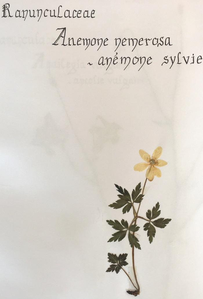 herbier anemone sylvie