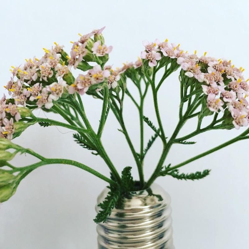 fleurs achillée millefeuille