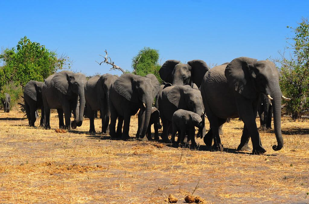 An Elephant Symphony Plays In Chobe National Park