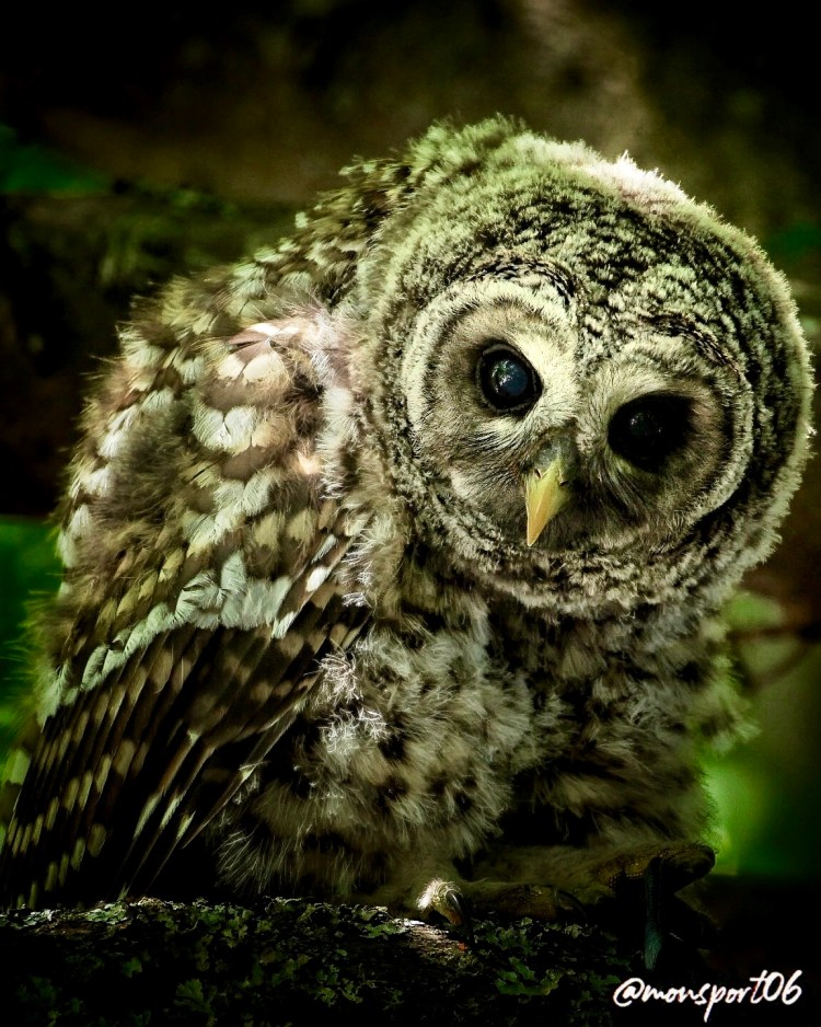 Owl Victoria BC
