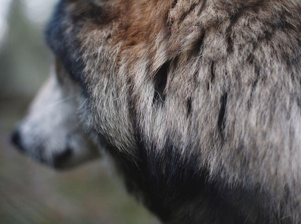 Wolf-Haven-1-