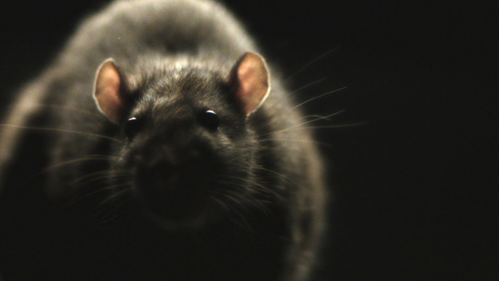 rats-monster-movie