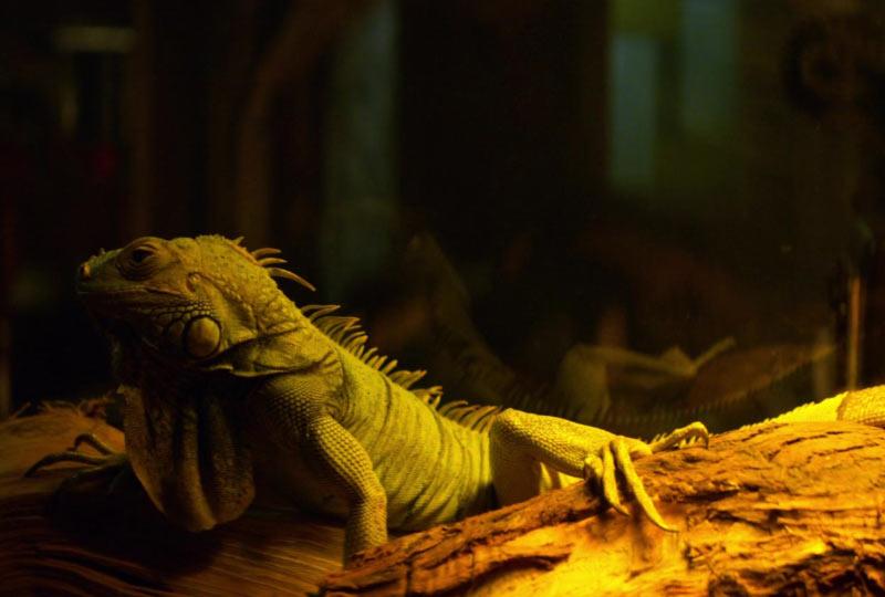Iguana bestiario di sabrina