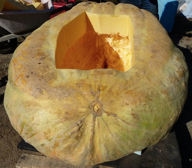 A giant, 1,000 pound pumpkin getting prepped for racing.