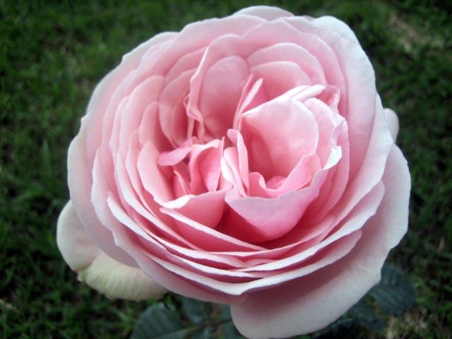 Garden Roses  Monster Rose Farm