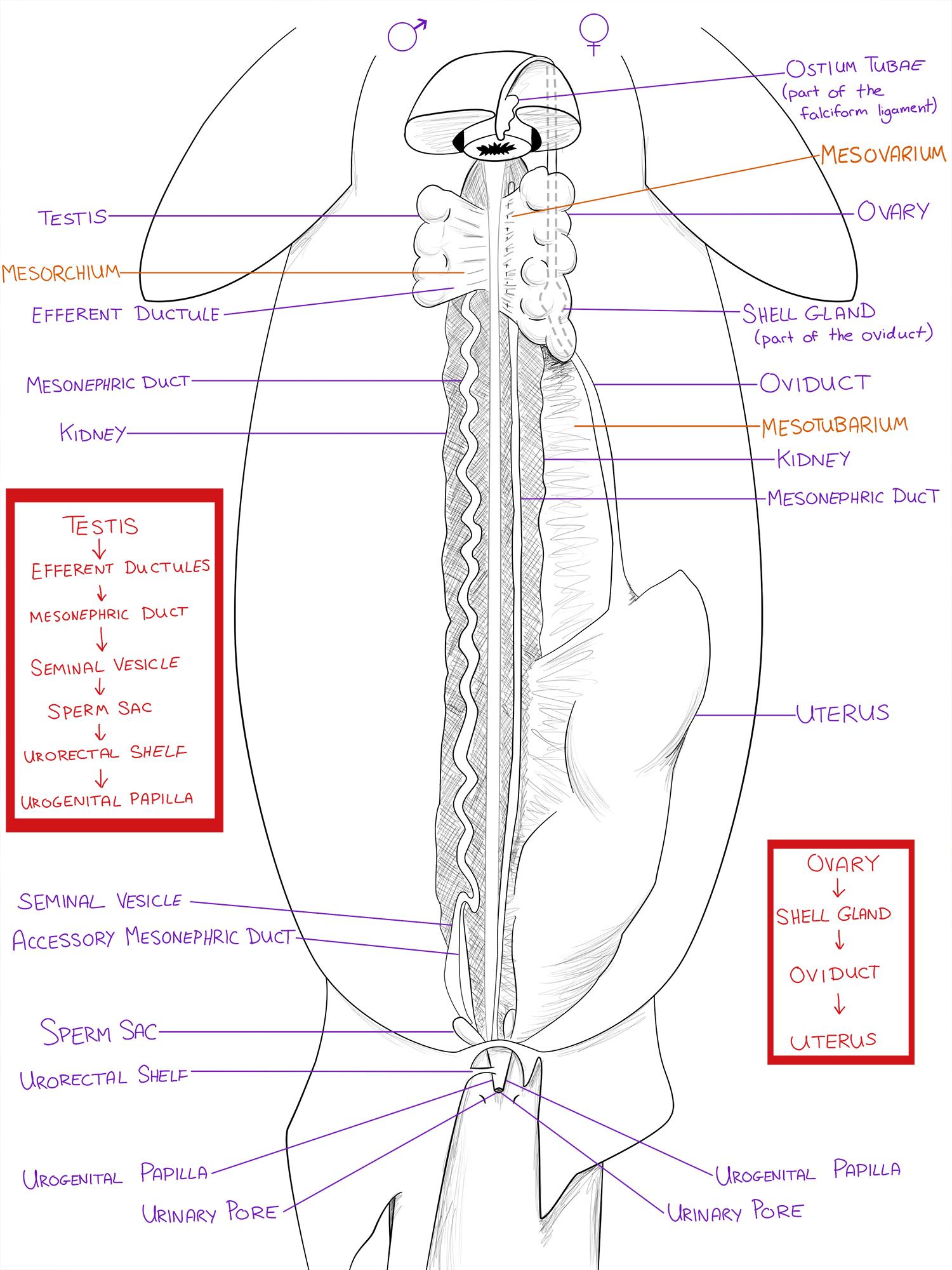 Dogfish Urogenital System