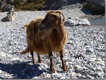 17 chèvre