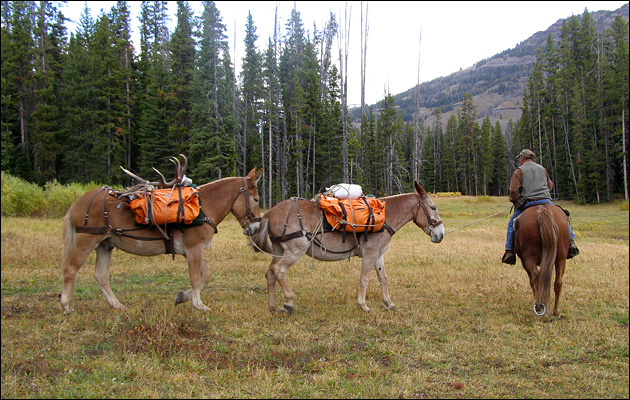 Pack mules with meat and antlers