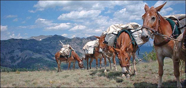 Pack string of five mules.