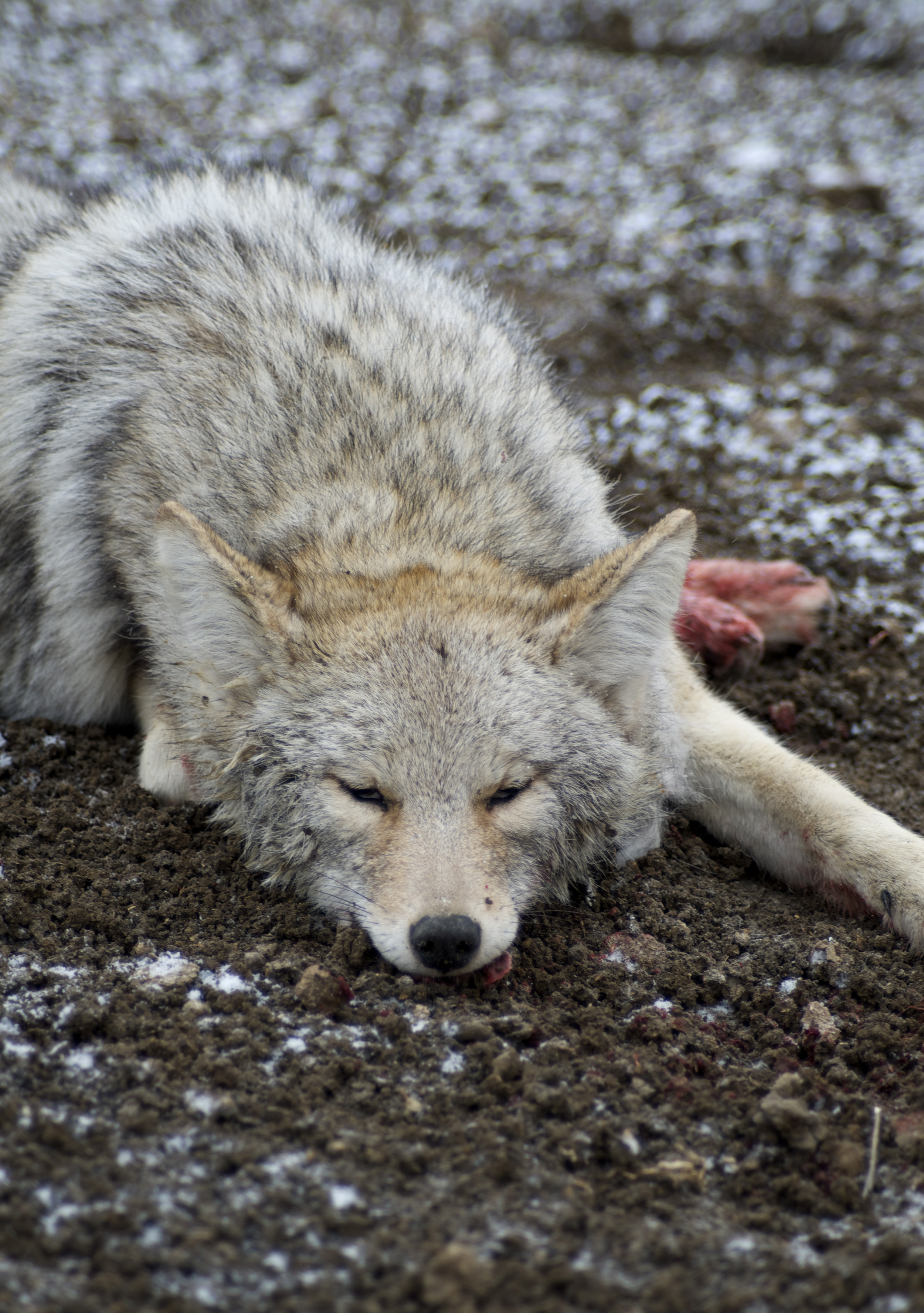 Coyote Hunting Archives