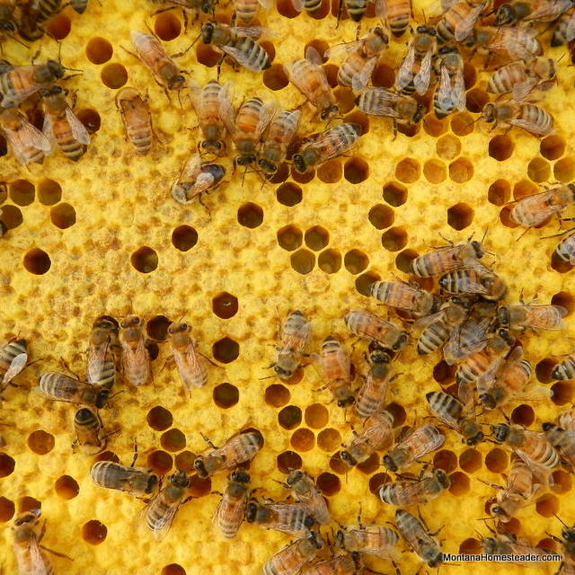 picture of honey bees capping brood in the bee box