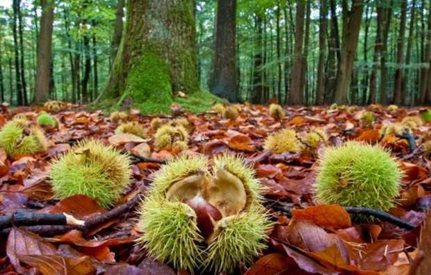 Chestnut season in Italy