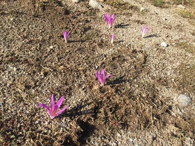 """Merendera montana. También llamada vulgarmente """"quitameriendas"""", """"chuchameles"""" y """"lirios o flores de otoño"""". Es una pequeña planta liliácea, bulbosa, pariente del azafrán. El curioso nombre tiene su origen en el pastoreo. Antiguamente, los pastores recibían la comida como parte de su salario. En los meses de primavera y verano, con tantas horas de luz, tenían incluida la merienda, dado que el ganado pastaba hasta bien entrada la tarde. Al llegar el otoño, con menos horas de luz, coincidiendo con que en el campo brotaban estas pequeñas flores lilas, se les quitaba la merienda del salario y cenaban en casa. De ahí lo de """"quitameriendas"""", que según la zona puede variar a """"merendera"""" o """"alzameriendas"""" (Castilla-León), son """"escusameriendas"""" (Aragón), """"merendeira"""" (Galicia) o """"espachapastores"""" (La Rioja)."""
