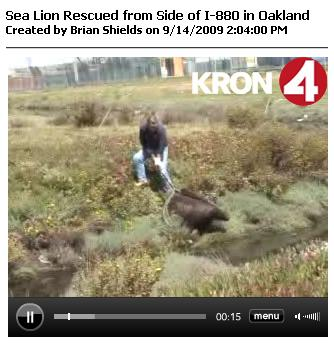 Sea Lion Rescued, Sept 14, 2009