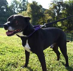 This is Ace. He's a very excitable and playful 7-year-old. He loves people, playing frisbee, and especially getting scratches! You might fall in love with him after seeing the bliss on his face when he's being scratched. Sometimes he sticks his tongue out, too! Come by the center to meet him.