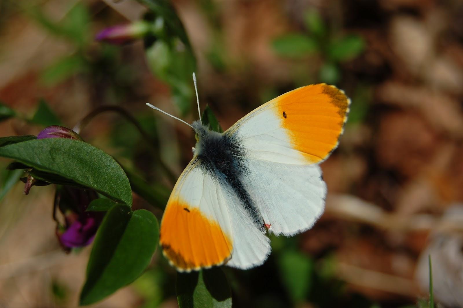 Risultati immagini per farfalla aurora