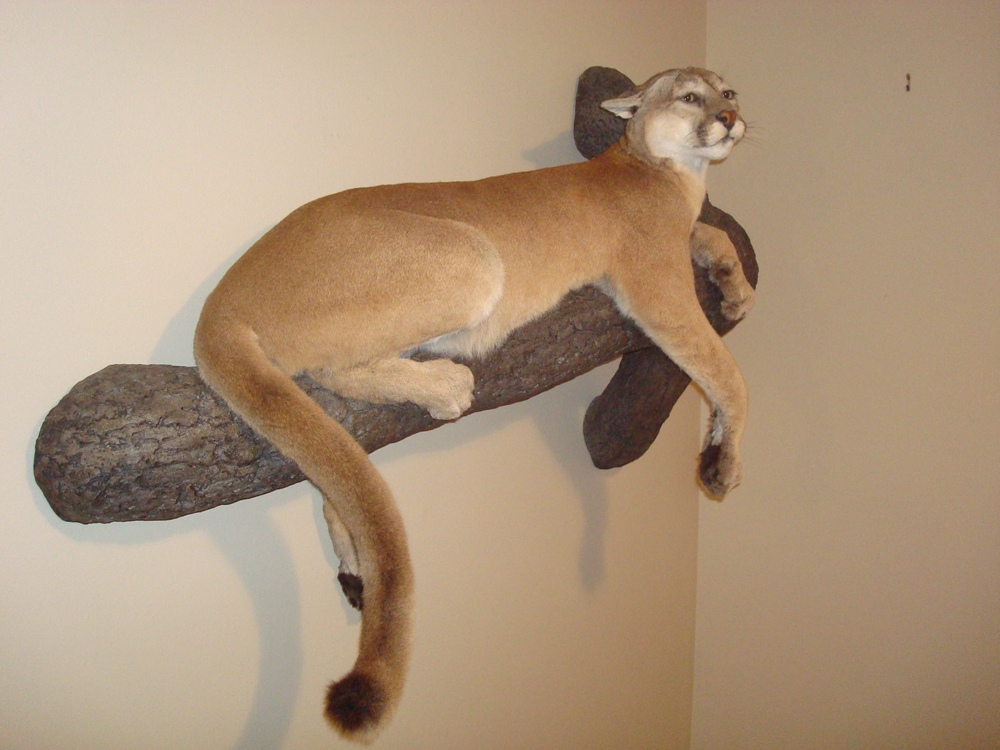 Lifesize Mammals Monteith Taxidermy