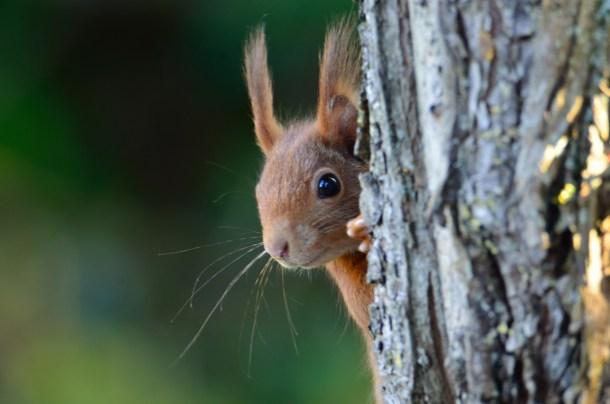 millefeuille-ecureuil