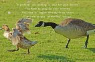 xp3-dot-us_DSC_4552 goose chases duck