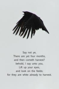 xp3-dot-us_DSC_5775 black bird, wings down