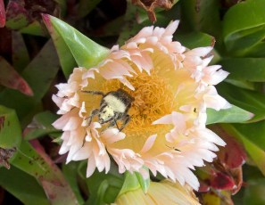 bee climbing out of ice plant
