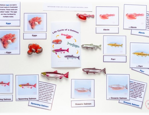 Montessori-Salmon-Lifecycle-3-Part-Matching-Cards
