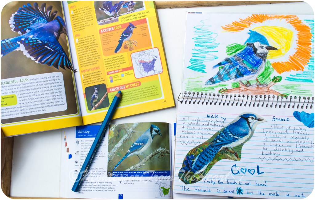 Blue Jay Nature Journaling