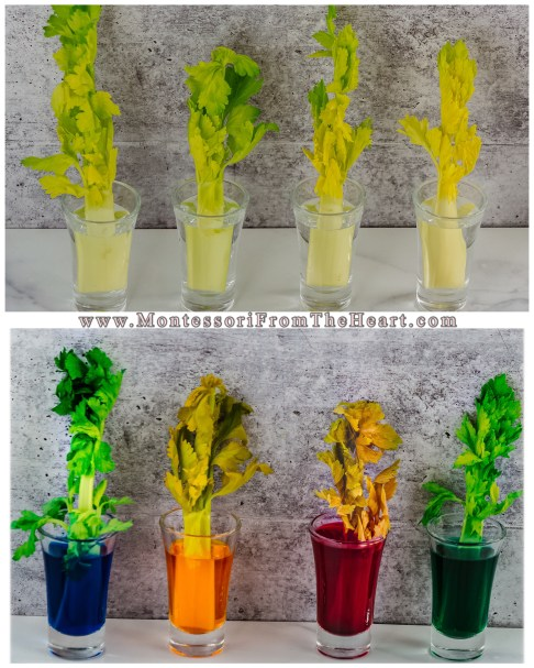Capillary Action-Celery-Montessori STEM