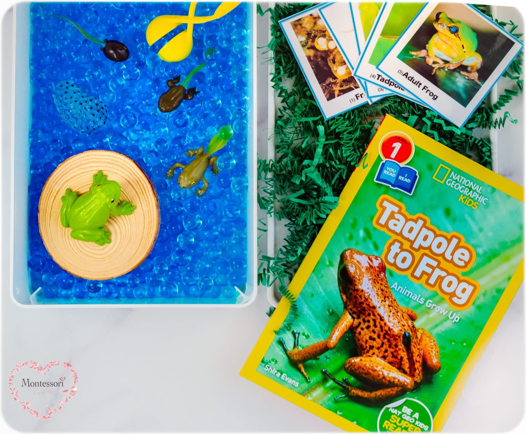 Frog-LifeCycle-Learning-Kit-Tadpole-to-Frog-Book