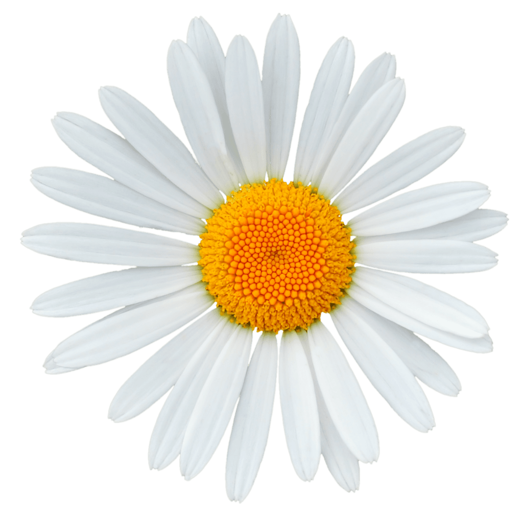 Anatomy-of-A-Flower-daisy