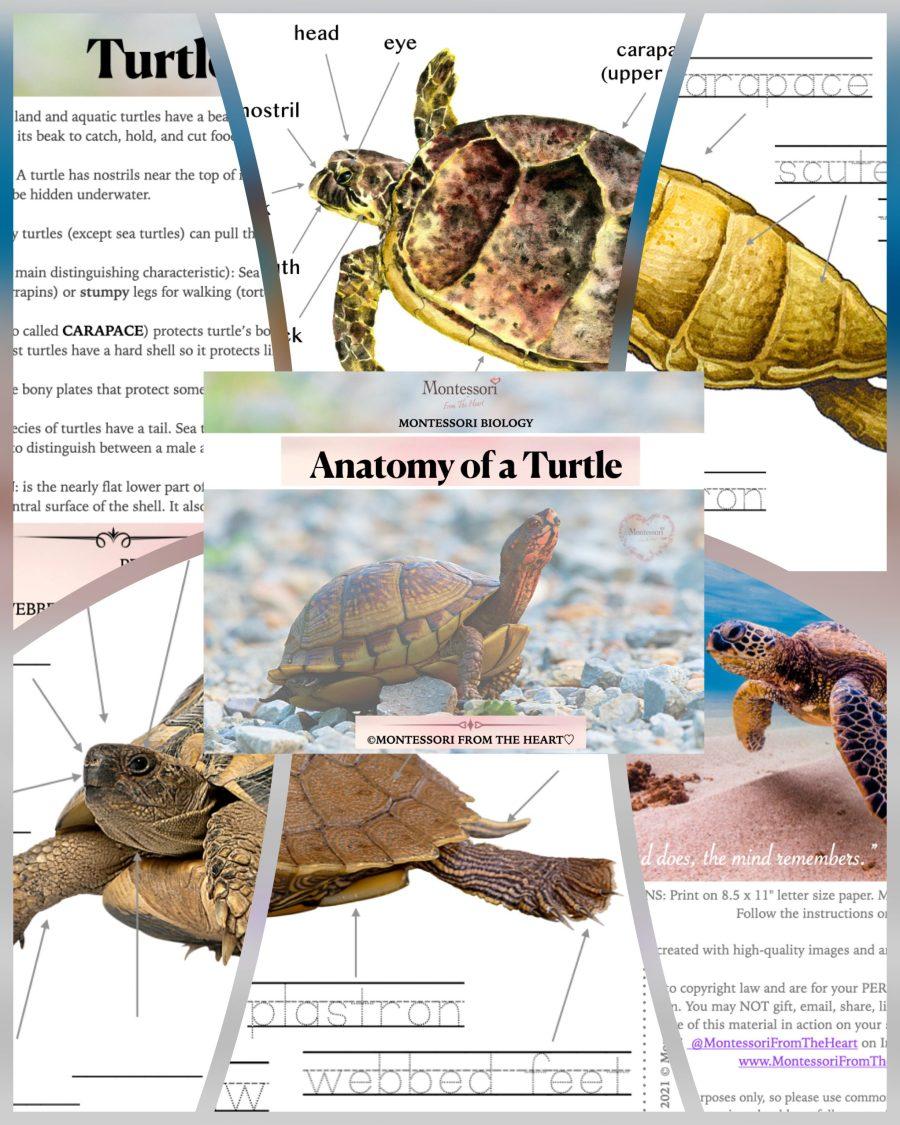 *Anatomy of a Turtle-Montessori-Biology