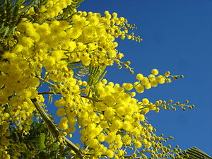 Mimosa2007